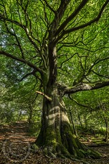Honley Wood Trees Aug 2017 (13) (Mark Schofield @ JB Schofield) Tags: trees woodland forest wood honley huddersfield meltham root branch leafy ancient summer