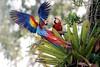 Scarlet Macaw (Ara macao) (Daniel Mclaren .:. Naturalist Guide CR) Tags: costarica birdwatching danielmclaren scarletmacaw aramacao