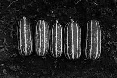 Five (justingreen19) Tags: gardening marrow allotment crop cucurbit five garden ground growyourown horticulture linedup plot soil texture vegetablepatch vegetables veggies weeds
