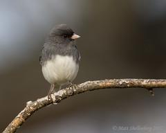 Dark-eyed Junco (Matt Shellenberg) Tags: darkeyed junco sparrow darkeyedjunco