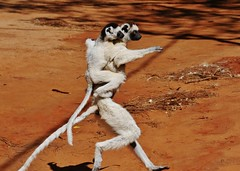 Madasgascar Lemur - Verreaux's Sifaka (Propithecus verreauxi) (Susan Roehl) Tags: madagascar2017 largeislandoffthecoastofafrica lemur verreauxssifaka propithicusverrauxi endemictoisland motherandchild jumping patternoflocomotion 101speciesandsubspecies mediumsized indriidaefamily varietyofhabitats rainforest deciduousdryforests thicksilkyfur longtail arborealexistence smalltroops foursubspecies generally18yearsold sueroehl photographictours naturalexposures panasonic lumixdmcgh4 35x100mmlens sunrays5 coth5 ngc
