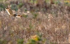 Backlit through grasses (Ted Humphreys Nature) Tags: shortearedowl owls raptors birsofprey tedhumphreysnature