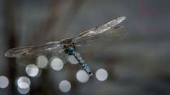 chasing the dragon (FireDevilPhoto) Tags: dragonfly insect nature animal animalwing wildlife closeup macro beautyinnature blue summer multicolored flying outdoors fragility backgrounds animaleye fly greencolor animalsinthewild everypixel