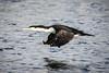 Speeding (stewartbaird) Tags: avian newzealand flight nature bird birds shag wildlife corormont blackshag