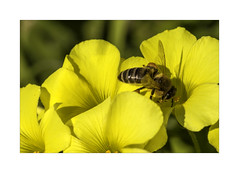 0E1A0857b A Reminder of Summer (foxxyg2) Tags: flora fauna flowers bees yellow naxos cyclades greece