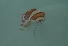 403Chrysaora plocamia (CTS_Chile) Tags: medusa jellyfish cnidaria scyphozoa chile chrysaora plocamia chrysaoraplocamia