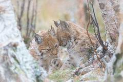 Sibling love (CecilieSonstebyPhotography) Tags: catfamily birch høst cat canon fall animal norway trees markiii gaupe love langedrag sisters ef100400mmf4556lisiiusm bokeh paw eurasianlynx lynx closeup cubs siblings lynxcubs sweet lynxcub firstsnow canon5dmarkiii duo birches animals snowflakes autumn october snow specanimal