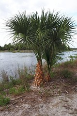 20170620 (33) Winding Waters Natural Area West Palm Beach FL USA (Frabjous Daze) Tags: windingwaters naturalarea westpalmbeach palmbeachcounty wpb pbc fl fla florida usa yhdysvallat palmu palmtree luonnonpuisto luonnonsuojelualue