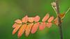 Höstfärger på sensommaren (Franz Airiman) Tags: rönn rowan summer sommar djurgården stockholm sweden scandinavia tree träd höstfärger autumncolours autumn fall