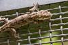 Forest Gecko (wilson.brett) Tags: reptile zealandia