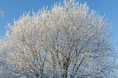 Frosty (grus_p) Tags: frosty winter winterdetail white blue tree 100thanniversaryofindependence nature light sunlight luminanceboréale finland