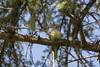 Cotorra argentina (EríkaPrímola) Tags: parrot cotorra parque