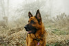 Over There (Viv Lynch) Tags: canada ontario toronto scarborough bluffs fog weather mist scarboroughbluffs forest woods nature walking waterfronttrail eastend autumn fall winter cliffside meadow coldweather mood dog dogs germanshepherd alsatian pet dogwalking