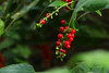 Rivina humilis  ジュズサンゴ (ashitaka-f studio k2) Tags: seed red rivina humilis ジュズサンゴ ヤマゴボウ科 phytolaccaceae