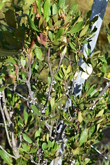 plant wax myrtle Currituck NWR ncwetlands AM (22) (ncwetlands.org) Tags: northcarolina freshwaterwetland brackishmarsh curritucksound ncwetland ncwetlands barrierisland wildliferefuge