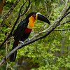 Ramphastos vitellinus (Nightgoose) Tags: toucan tucano ramphastosvitellinus ave bird