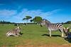 Safari park on Veli Brijun island (zkbld) Tags: brijun brioni velibrijun greatbrioni brionigrande croatia istria mediterranean adriatic europe port history water see island coast view tranquility blue landmark scenic touristdestination tourism holidays zoo zebra animal zebu safari park