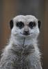 Meerkat (mapletreejapanese) Tags: meerkat
