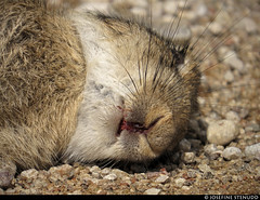 20150709_01 European rabbit (Oryctolagus cuniculus) who had been killed by a car :'( | Near Grynge, Gotland, Sweden (ratexla) Tags: ratexlasgotlandtrip2015 1000views nonhumananimal gotland 9jul2015 2015 canonpowershotsx50hs grynge sweden sverige scandinavia scandinavian europe beautiful earth tellus photophotospicturepicturesimageimagesfotofotonbildbilder europaeuropean summer travel travelling traveling norden nordiccountries roadtrip journey vacation holiday semester resaresor nature rabbit rabbits oryctolaguscuniculus wild vild vilda wildlife vildkanin vildkaniner kanin kaniner djur nonhumananimals animal animals cute cool organism biology zoology ontheroad sommar corpse corpses death dead deceased decay död döden lik morbid sad roadkill blood fur almostanything unlimitedphotos favorite