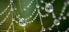 DSC_3352 (sueknightphotography) Tags: cobweb morningdew waterdroplets autumn weather spidersweb nature macro macrophotography