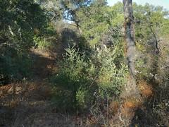 *Olea europaea, OLIVE (openspacer) Tags: jasperridgebiologicalpreserve jrbp nonnative olea oleaceae olive tree