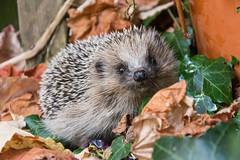 Little hedgehog (bertrandwaridel) Tags: 2017 autumn echallens october vaud animal garden hedgehog hérisson suisse