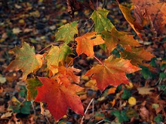 Autumn leaves 5459 (saxonfenken) Tags: 6857trees 6857 leaves orange autumn colourful tcf peretual gamewinner