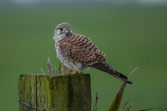 R17_8440 (ronald groenendijk) Tags: cronaldgroenendijk 2017 falcotinnunculus rgflickrrg animal bird birds birdsofprey groenendijk holland kestrel nature natuur natuurfotografie netherlands outdoor ronaldgroenendijk roofvogels torenvalk vogel vogels wildlife