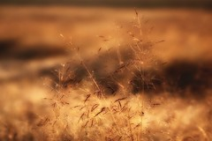 In the rays of the setting sun (pszcz9) Tags: przyroda nature natura trawa grass zbliżenie closeup bokeh beautifulearth sony a77 samyang
