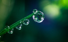 #GoGreen (YᗩSᗰIᘉᗴ HᗴᘉS +9 500 000 thx❀) Tags: gogreen flickerfriday friday drop droplets droplet green vert pearl perle goutte macro supermacro hensyasmine yasminehens nature