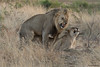 Ensuring the future Lion generation (Louis and Marie Helberg) Tags: pilanesberg lions animal africa wildlife nature canon mating