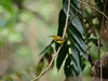 Yellow-bellied Sunbird (James_Preece) Tags: olivebackedsunbird nectariniidae m43 cinnyrisjugularis leicadgvarioelmar100400mmf4063 panasoniclumixdcgh5 yellowbelliedsunbird