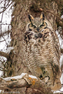 _Great Horned Owl - *Explore