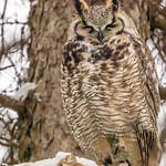 _Great Horned Owl thumbnail