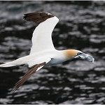 Northern Gannet with what appears  to be a plastic bag thumbnail