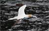 Northern Gannet with what appears  to be a plastic bag (Antony Ward) Tags: gannet polution shetland isleofnoss bif birdsinflight