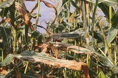 Stewarts wilt of corn (The NYSIPM Image Gallery) Tags: cornell cals nysaes newyork ipm nysipm integratedpestmanagement disease bacteria corn