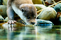 Eurasian Otter (Dakiny) Tags: 2017 autumn october japan kanagawa yokohama asahiward park city street outdoor zoo yokohamazoologicalgardens zoorasia creature animal mammal nikon d750 sigma apo 70200mm f28 apo70200mmf28exdgoshsm sigmaapo70200mmf28exdgoshsm nikonclubit
