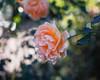 2017 Autumn Rose (shinichiro*@OSAKA) Tags: 20171121sdqh1805 2017 crazyshin sigmasdquattroh sdqh sigma1835mmf18dchsm november autumn rose yokohama kanagawa 横浜イングリッシュガーデン バラ ピンク japan jp 24803811508 2081072 201801gettyuploadesp
