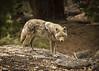The Holdup (Patty Bauchman) Tags: coyote yosemitenationalpark nature wildlife