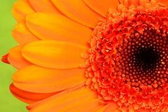 Health is.... (Steven H Scott) Tags: flower close up macro petals orange green gerbera plant organic nature patern