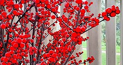 Chinaberry cheery to brighten up November dreary (marianne kuzmen on and off) Tags: chinaberry chinaberries red round tiny colormanipulation branches color pov berry christmas tree bush repeatpatterns small intense bright beautiful gray contrast light samsunggalaxy samsung mariannekuzmen vibrant colorful xmasred contrasting colors white xmas xmasdecoratingnaturally happyholidaytuesday winter winterchinaberries wegmanscherryhillnj boughsofholly boughs natural decoratingwithnatureforxmas awardtree vintage