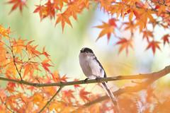 Japanese maple with Long-tailed Tit (myu-myu) Tags: nature bird wildbird aegithaloscaudatus longtailedtit autumnfoliage autumncolors japanesemaple nikon d500 野鳥 エナガ 紅葉 カエデ モミジ japan
