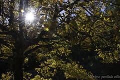 Llums de tardor / Autumn lights (nuriapase) Tags: saldes vegetal tree light sun autumn tardor otoño fulla leaf yellow forest oak nature star reflection roure roureda pedraforca berguedà catalunya parcnaturalcadíimoixeró cadí groc amarillo flora