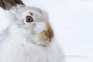 Alert Mountain Hare