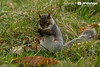 Cheeky Squirrel (J P Watson Photography) Tags: wildlife autumn nature countryside studley royal north yorkshire canon