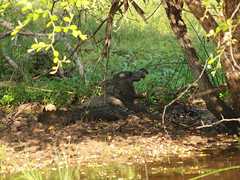 Ceylon mugger crocodile (jeff.dugmore) Tags: srilanka ceylon asia yalanationalpark tropical tropics travel water waterhole safari jungle trees plantation nature wild wildlife rural swamp reptile crocodile fauna basking ceylonmuggercrocodile srilankaswampcrocodile olympus