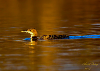 Common Loon at the Golden Hour