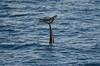 Risso tail (Mol_PMB) Tags: maldives risso dolphin grampus griseus