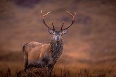 """"""" S'my Glen """" (JJFET) Tags: red deer stag highland"""